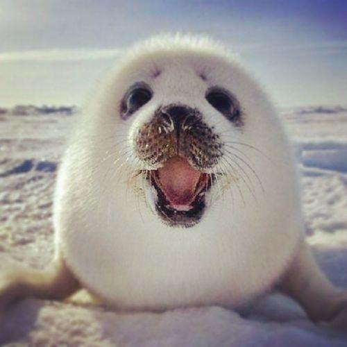 Ecco :) in questo istante mi sento esattamente come questa foca Conungransorriso  :):):):)