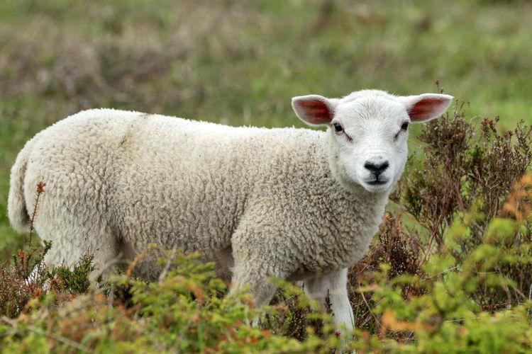A sheep Mammal