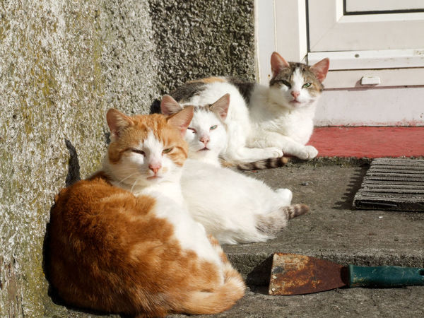 Animal Themes Cat Cats Cats 🐱 Curiosity Day Domestic Animals Domestic Cat Doorstep Feline Ginger Cat Islandlife Looking At Camera Outer Hebrides Pets Resting Resting Time Tabby Three Cats