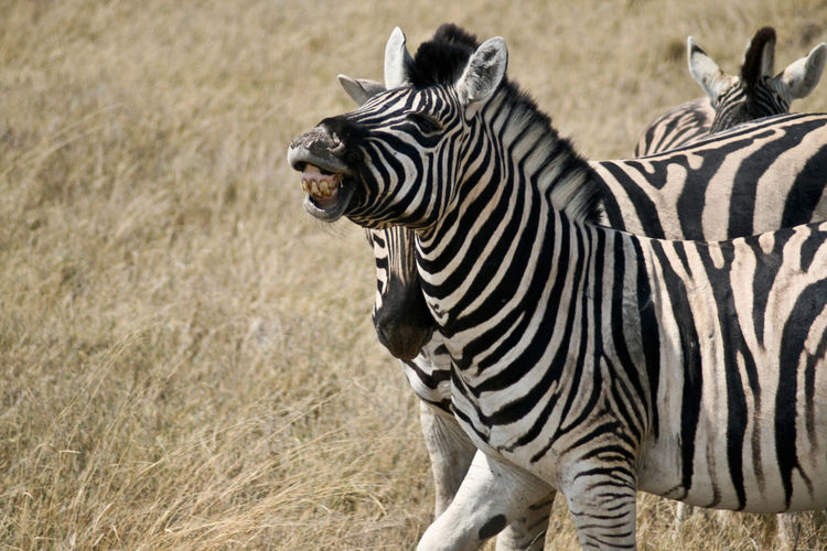 Excited Zebra