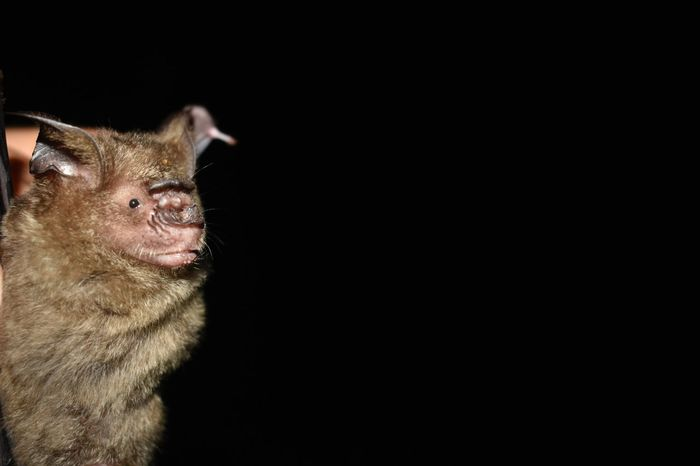 Hipposideros sp. Chiroptera Hipposideros Borneo Bats Copy Space Animal Themes Black Background Mammal Close-up