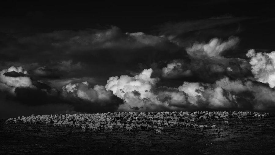 Flock of sheep walking on land against sky