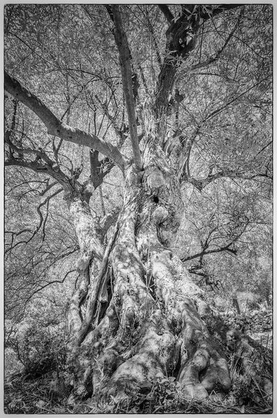 Olive Tree Olive Cres Kovacine Croatia Light And Shadow Naturephotography Nature_collection Naturelovers The Magic Mission Nature Photography Black And White Collection  light and reflection Black And White Black And White Photography The Great Outdoors - 2016 EyeEm Awards The Great Outdoors The Great Outdoors Nature EyeEm Nature Lover EyeEm Gallery EyeEm Best Shots - Nature EyeEm Best Shots - Black + White Nature Black&white Eyeem Market From My Point Of View Monochrome Photography The Street Photographer - 2017 EyeEm Awards The Great Outdoors - 2017 EyeEm Awards Sommergefühle EyeEm Selects Breathing Space Investing In Quality Of Life The Week On EyeEm EyeEmNewHere Your Ticket To Europe Mix Yourself A Good Time Been There. Been There. Discover Berlin Done That. Lost In The Landscape Second Acts Be. Ready. Perspectives On Nature Rethink Things Black And White Friday EyeEm Ready   AI Now An Eye For Travel Go Higher This Is Aging