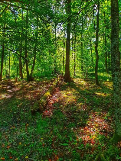 Morning Light Naturelovers Beauty In Nature Forest Path EyeEm Selects Light And Shadow Forestwalk Tree Forest Tree Trunk Branch Lush Foliage Field Shadow Grass Green Color