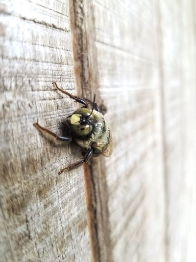 Bumblebee Bee Insect Close-up Animal Themes Bug Buzzing APIculture Tiny