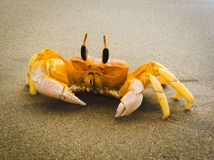 Crab on Sand EyeEm Selects Sand Animal Themes Animal Wildlife Animals In The Wild Crab One Animal Beach Nature Day No People Outdoors Close-up Sea Life