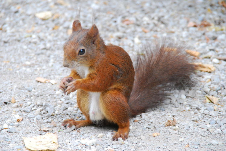 Close-up of eurasian red squirrel on field