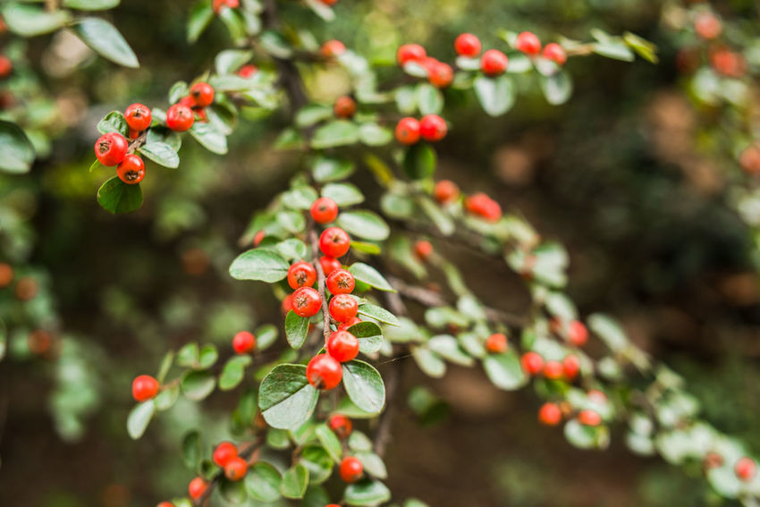 Autumn in Milan Autumn Berries Cotoneaster Horizontalis Beauty In Nature Bright Berries Close-up Day Flower Focus On Foreground Freshness Fruit Growth Nature No People Outdoors Plant Red Red Berries Selective Focus Tree