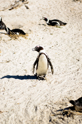 Animal Animal Family Animal Themes Animal Wildlife Animals In The Wild Beach Bird Day Group Of Animals High Angle View Land Nature No People Outdoors Penguin Sand Selective Focus Sunlight Vertebrate