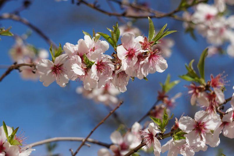 Mandelblüten Flowering Plant Flower Plant Fragility Beauty In Nature Growth Vulnerability