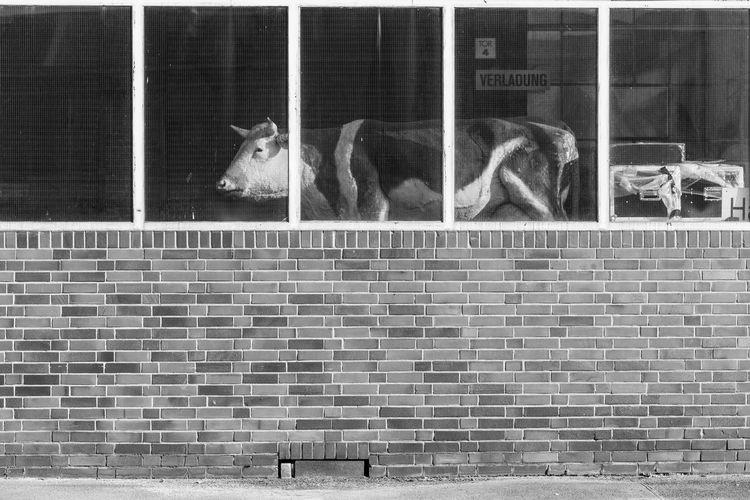Berlin Kuh Trzoska Animal Animal Head  Animal Themes Architecture Cow Day Mammal No People Outdoors S/w Staatsoper Wall