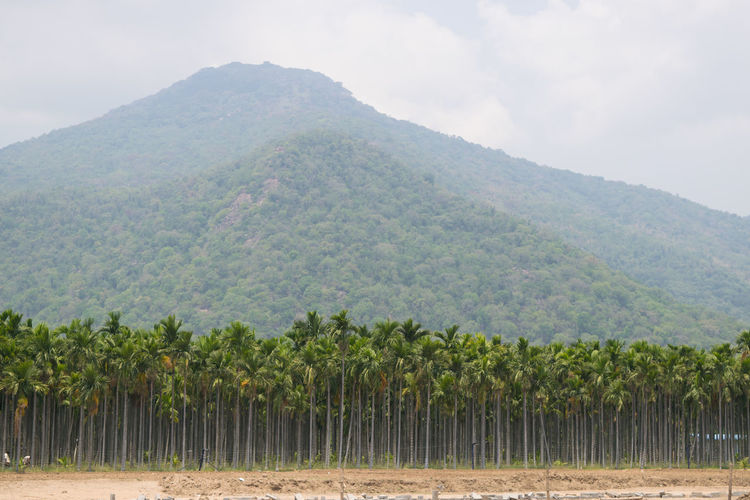 Captured With Nikon D3300 #hills #palmtrees Plant Mountain Scenics - Nature Growth Tree Agriculture Tranquility Beauty In Nature Land Nature Tranquil Scene Environment Landscape Sky Day Field Green Color No People Crop  Farm Mountain Range Outdoors Winemaking Plantation