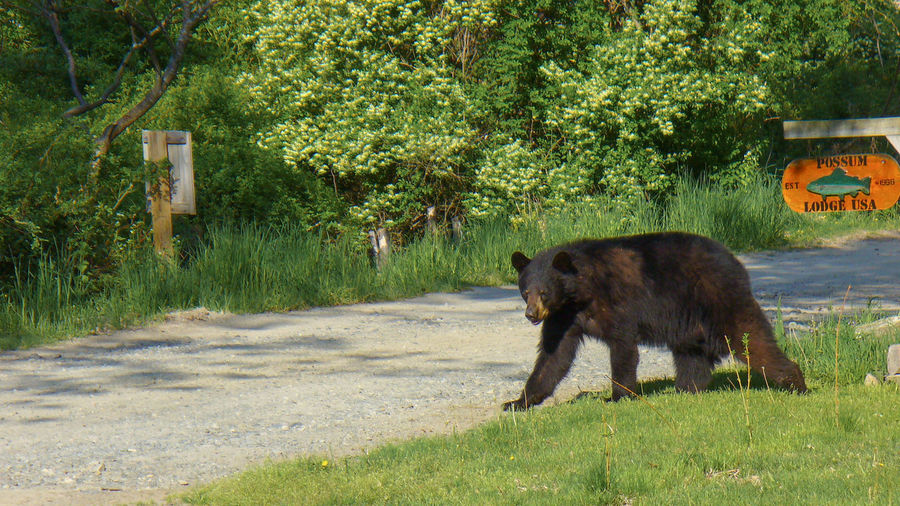 Bear Crossing a Rural Road in Sussex County New Jersey Bear New Jersey Animal Themes Animal Wildlife Animals In The Wild Black Bear Brown Bear Danger Full Length Mammal Nature No People One Animal Outdoors Sussex County