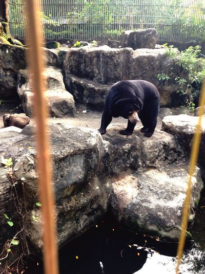 Malayan sun bear Animals