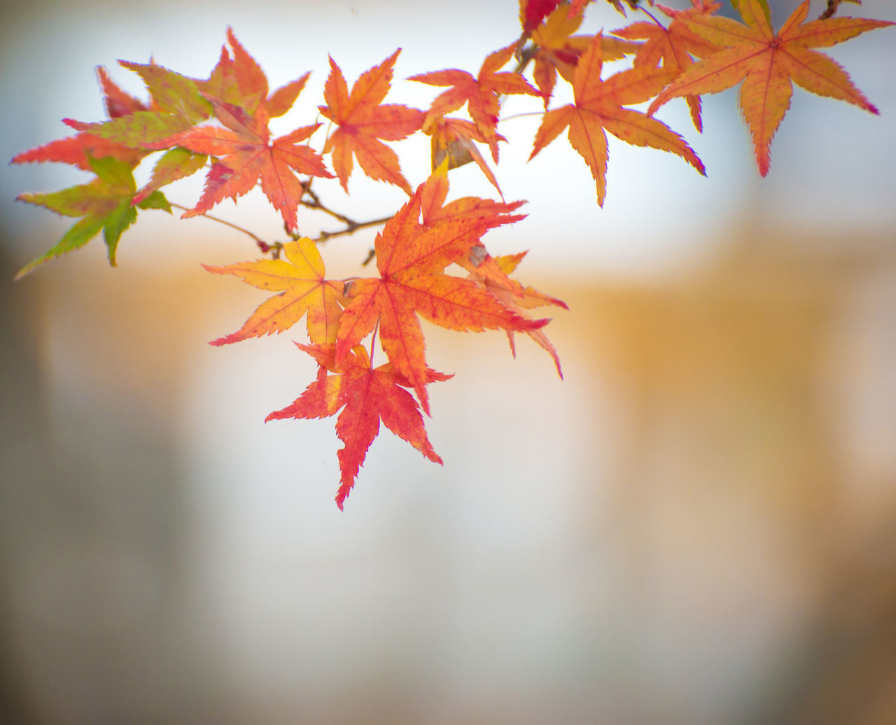leaf, plant part, autumn, change, maple leaf, plant, close-up, focus on foreground, orange color, beauty in nature, red, nature, leaves, maple tree, no people, tree, day, selective focus, branch, outdoors, natural condition, autumn collection, fall
