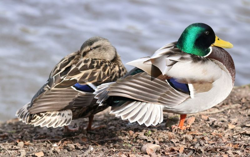 Mr & Mrs Duck sunning themselves. Bird Vertebrate Animal Themes Animal Wildlife Animal Animals In The Wild Mallard Duck Duck Day Nature Poultry Male Animal Water No People Lake One Animal Close-up Full Length Focus On Foreground Outdoors