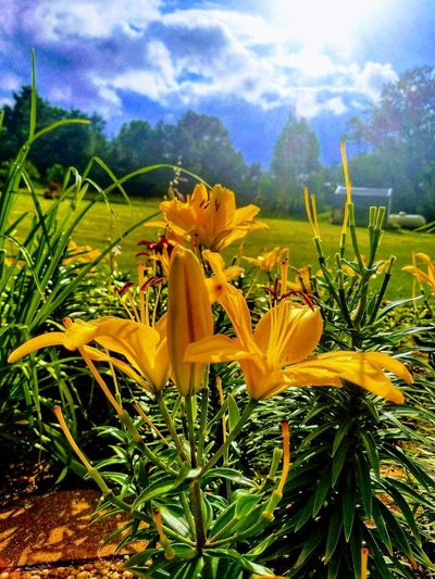 After the Storm Lilies Lilies Flower Flowers Lily Yellow Lillies After The Storm Flower Head Flower Yellow Uncultivated Field Petal Springtime Rural Scene Wildflower EyeEmNewHere