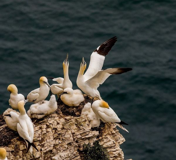 High angle view of gannets on rock against sea