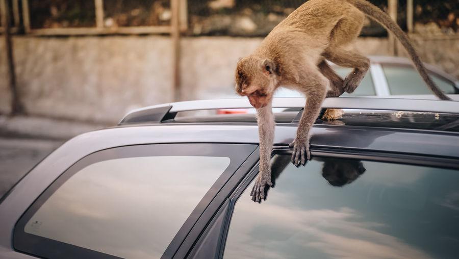 Primate Animal Animal Wildlife Car Focus On Foreground Mammal No People One Animal Outdoors Pets
