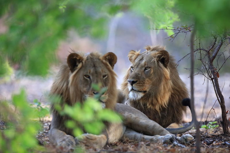 Kafue NP, Zambia Agressive Agressive Look Animal Family Animal Head  Animal In Wild Animal Instincts Animal Themes Dangerous Dangerous Animals Feel The Journey Forest Lion Lion Brothers Mammal Portrait Relaxation Selective Focus Wilderness Wildlife Young Animal Young Lions Fine Art Photography Two Is Better Than One