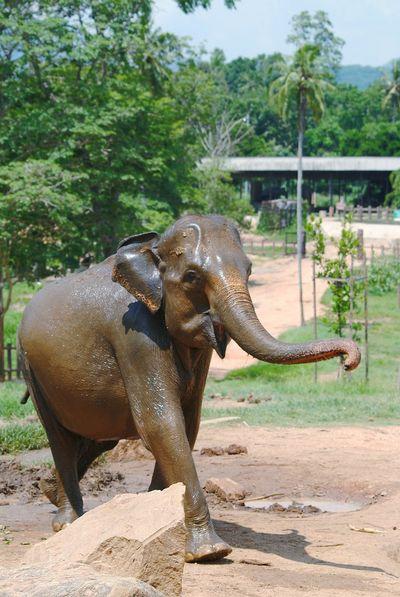 Ellie!! Pinnawala Elephant Orphanage Sri Lanka Animal Trunk Tree Elephant Safari Animals Indian Elephant Animal Themes Asian Elephant