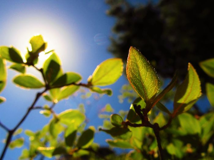 Close-up Green Color Growth Leaf Leaves Low Angle View Nature No People Outdoors Plant Sky Sunlight Tree