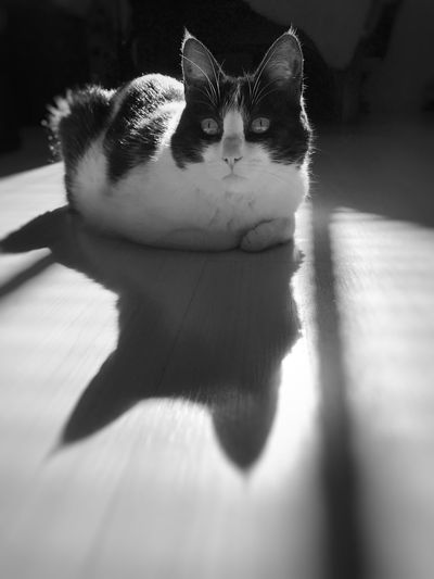 Cat Katzenliebe Katze EyeEm Selects Domestic Cat Pets Feline Domestic Animals One Animal Animal Themes Cat Shadow No People Indoors  Close-up Sunlight Sitting Day Mammal Portrait