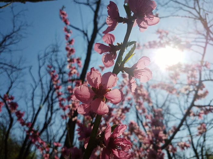 Flower Nature Beauty In Nature Freshness Growth Sunlight Sky Pink Color Blossom Petal Springtime Fragility Sun Outdoors No People Close-up Branch Nature_collection Nature_perfection Nature Photography Flowers_collection Flowers, Nature And Beauty Millennial Pink