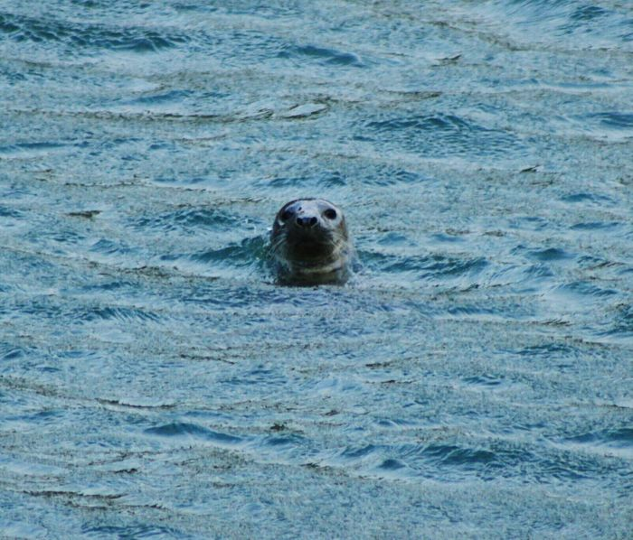 Animal Themes Animals In The Wild One Animal Animal Wildlife Mammal High Angle View Water Aquatic Mammal No People Seal - Animal Nature Outdoors Day Sea Seal Swimming Otter Beach Sea Lion