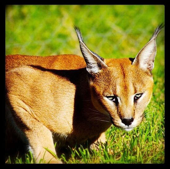 Wildcat Animal