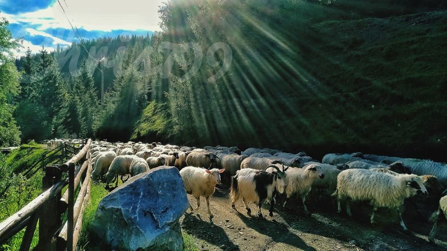 Nature No People Outdoors Beauty In Nature Day Tranquility Sky Landscape Growth Scenics Mountain Tree Sheeps Goats Sheep🐑 Goat Life Sheep Eating Herbs Nature Animals In The Wild Animal Themes Animal Wildlife Mountain View White Clouds Pasture Landscape Blue Sky