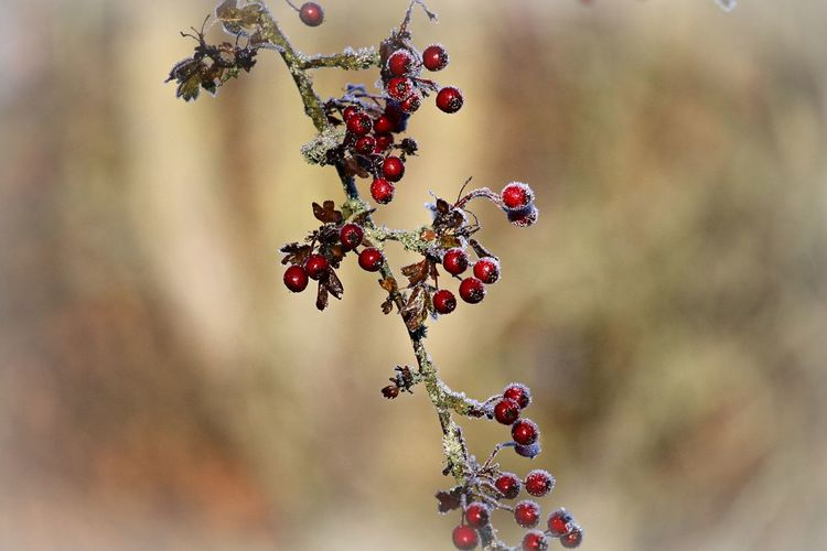 Fruit Berry Fruit Close-up Focus On Foreground Beauty In Nature Red Nature Tree Twig Selective Focus Cold Temperature Cold Winter Wintertime Nature_collection Nature Photography Frosty Frosty Mornings Frozen Frozen Nature Natural Beauty Beautiful Nature Bokeh Naturelovers EyeEm Nature Lover