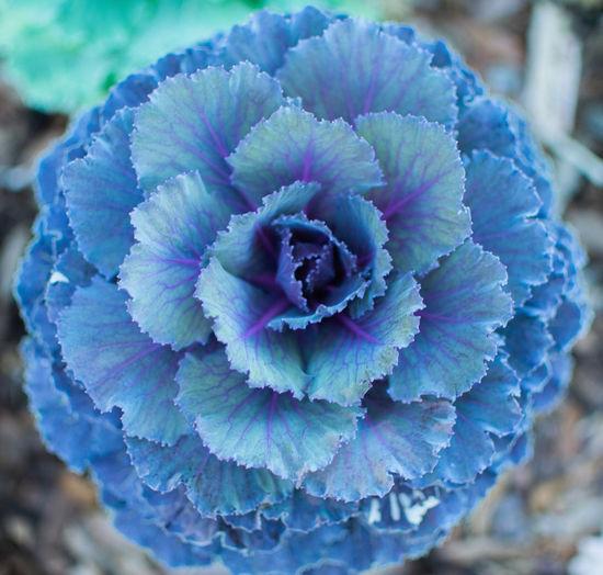Blue cabbage?
