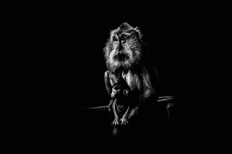Close-up of monkeys against black background