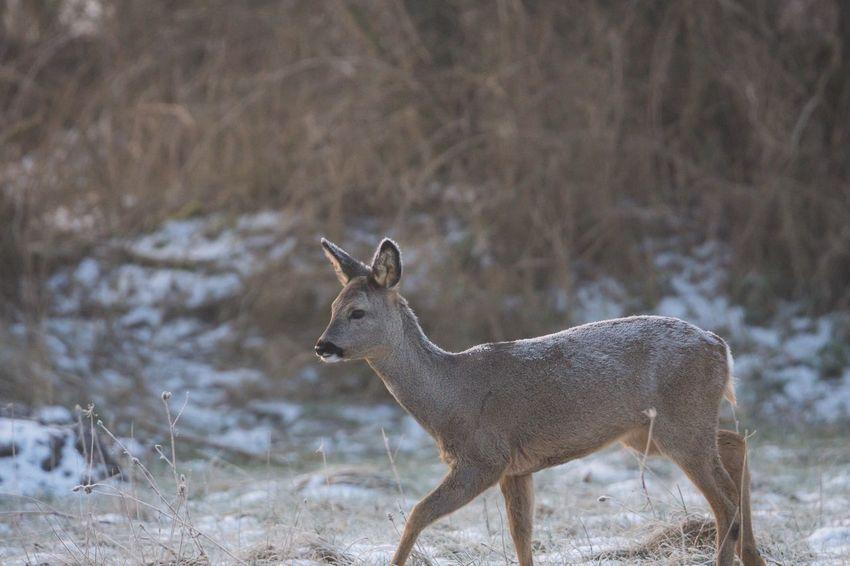 eines der Kitze vom letzten Jahr ist eine Schönheit geworden 😍 Reh Deer EyeEm Selects Mammal One Animal Animal Themes Animals In The Wild Field Nature Snow Winter Animal Wildlife Beauty In Nature