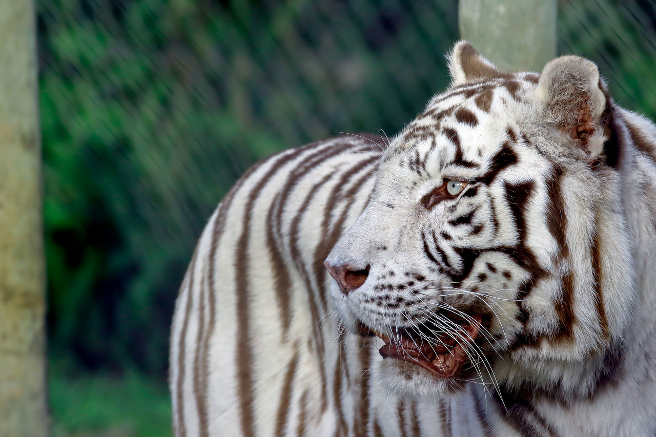 animals in the wild, one animal, animal wildlife, tiger, animal themes, nature, day, animal markings, focus on foreground, no people, white tiger, outdoors, mammal, safari animals, close-up