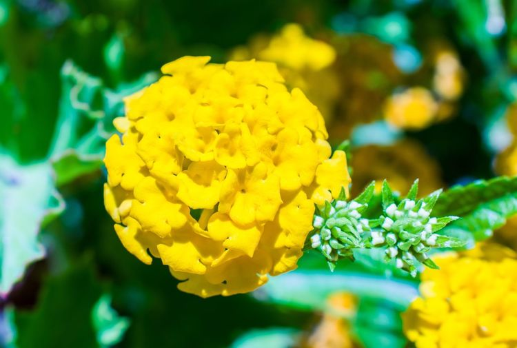 Flower Yellow Beauty In Nature Fragility Freshness Petal Nature Growth Outdoors Plant Close-up Flower Head Day No People Green Color Focus On Foreground Springtime Beauty In Nature Macro Beauty The Week On EyeEm Macro Photography Macro_collection Macro Plant Malephotographerofthemonth