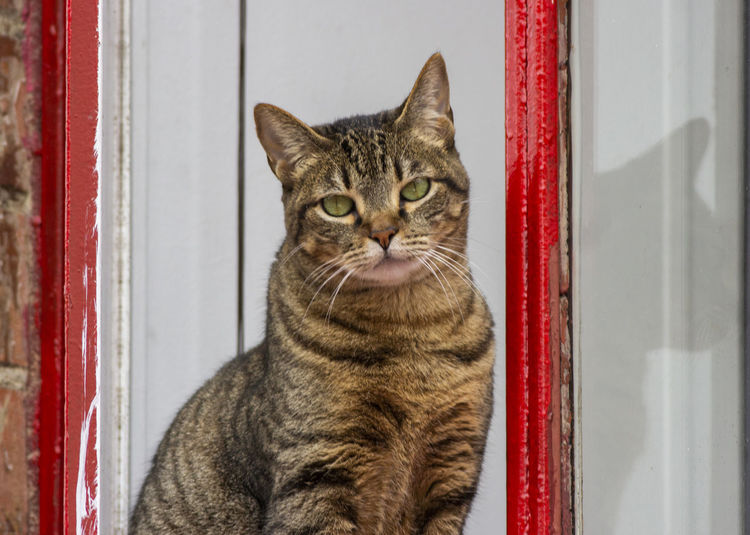 Domestic Animals Domestic Pets Cat Feline Domestic Cat Mammal One Animal Vertebrate Portrait No People Indoors  Looking At Camera Close-up Whisker Red Entrance Tabby