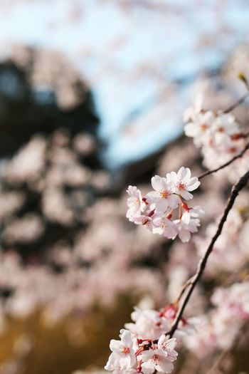 Beauty In Nature Blossom Cherry Blossom Cherry Tree Chidorigafuchi Flower Flower Head Growth Japan Nature Outdoors Pink Color Spring Springtime Tokyo Tree 千鳥ヶ淵 桜 花 2016