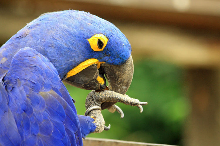 Close-up of blue parrot