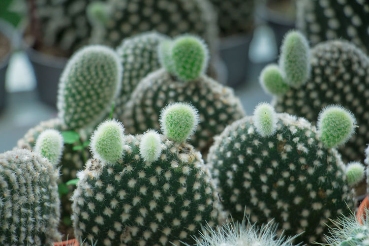 Cluster of green bunny ears prickly-pear cactus in a desert garden Barrel Cactus Beauty In Nature Cactus Close-up Day Flower Focus On Foreground Freshness Green Color Growth Natural Pattern Nature No People Outdoors Plant Potted Plant Sharp Spiked Succulent Plant Thorn