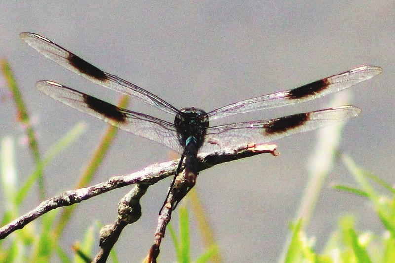 Dragon Fly In