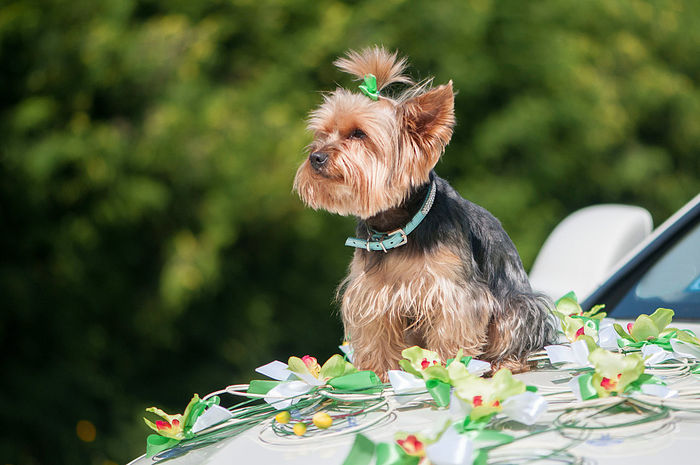 Yorkshire Terrier sitting on wedding car Animal Animal Themes Artificial Flower Background Day Decor Decoration Dog Dog Fashion Dog Portrait Domestic Animals Grass Mammal No People One Animal Outdoors Pet Clothing Pets Puppy Tree Wedding Car Yorkshire Terrier