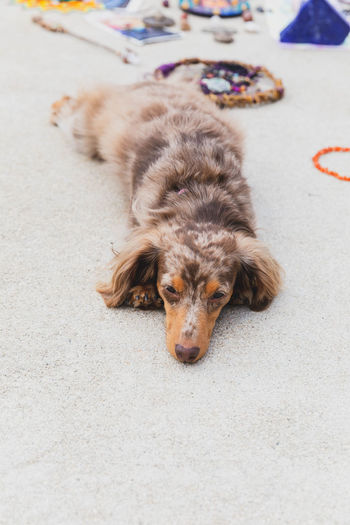 Dapple dachshund with long hair laying down and looking very cute. Cute Pets Animal Animal Themes Canine City Cute Cute Dog  Cute♡ Dachshund Day Dog Domestic Domestic Animals Focus On Foreground High Angle View Looking Looking At Camera Lying Down Mammal No People One Animal Pets Portrait Relaxation Vertebrate
