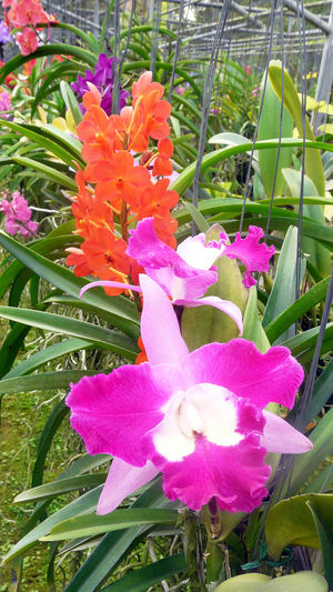 Flowers,Plants & Garden Orchids Blossom Colorful Orchids Orchidées Plants Flower Head Flowers Growth Orchideen Petal Pink Color Plant Red Color Thai Garden Colorful Nature Close-up