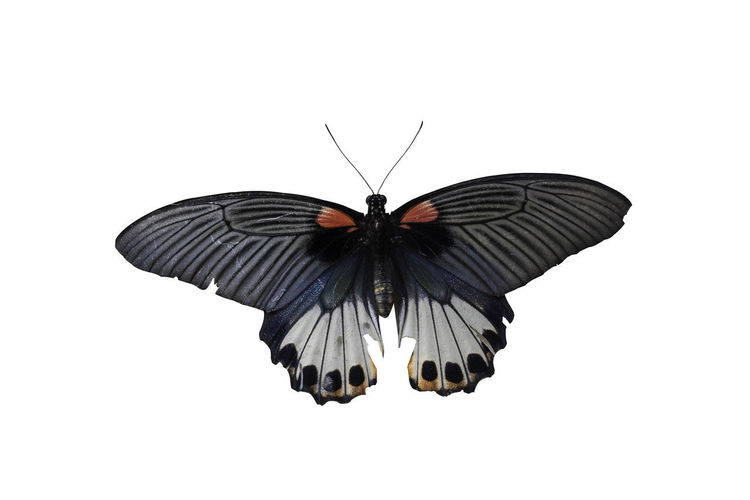 Old Papilio machaon butterfly or Swallowtail butterfly on grey cement background, with clipping path Animal Animal Wildlife One Animal Animal Themes Animals In The Wild Animal Wing Insect White Background Invertebrate Studio Shot Butterfly - Insect Beauty In Nature Close-up Flying No People Copy Space Cut Out Spread Wings Indoors  Nature Butterfly