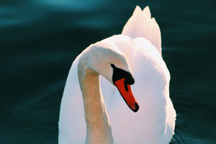 Bird Animal Themes Swan Close-up Animals In The Wild One Animal Lake Beak Swimming Nature Zoology Water Adult Animal Water Bird No People Swimming Animal Day Avian Outdoors Throughmyeyes EyeEm Canonphotography EyeEmBestPics EyeEm Gallery Finding New Frontiers
