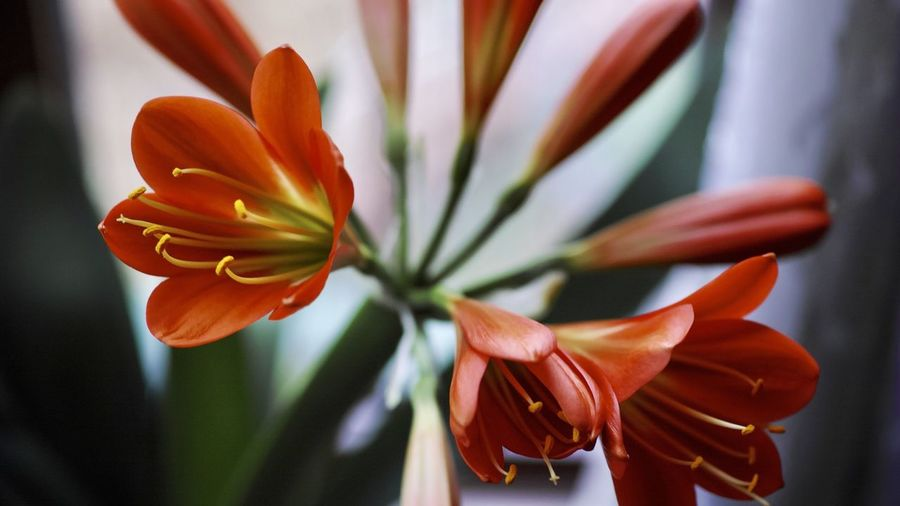 Close-up of orange lily
