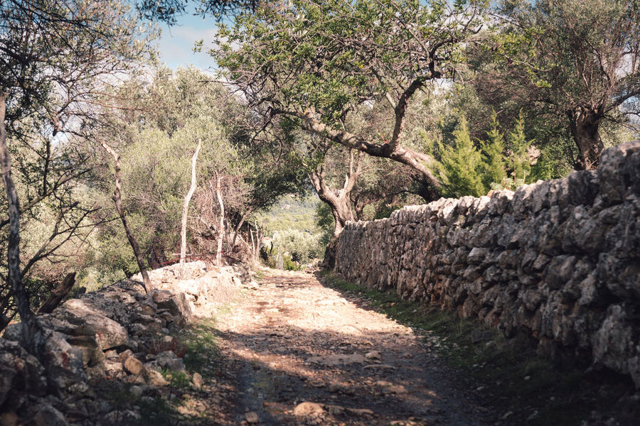 olive tree grove at Deià, Mallorca, Spain Beauty In Nature Day DEIA DEIA Growth Mallorca Nature No People Olive Olive Grove Olive Tree Olive Tree Blue Sky Olive Tree Landescape Olive Tree Shadow Olive Trees Outdoors Plant SPAIN Sunlight Tranquil Scene Tranquility Tree