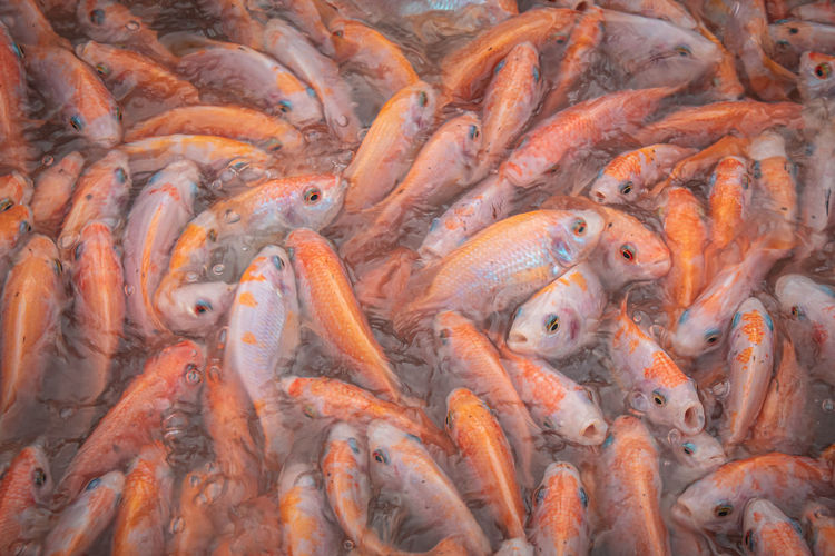 Close up of fish in a fish farm